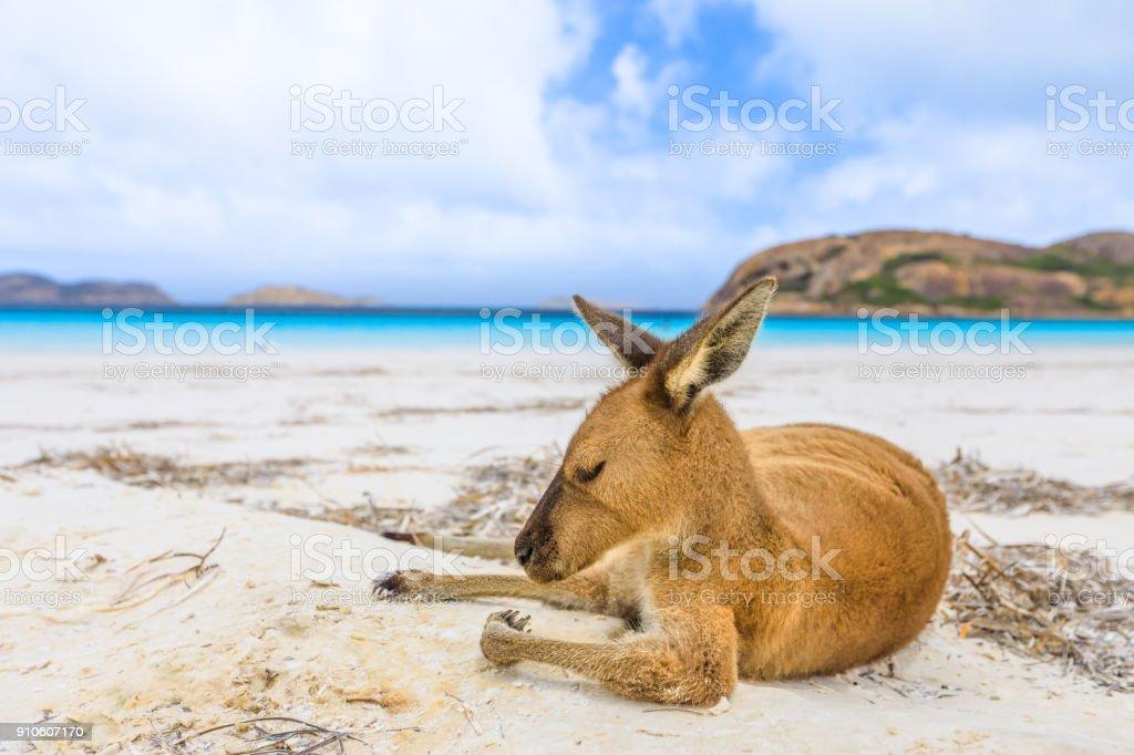 kangaroo on white sand stock photo