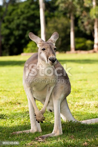 istock Kangaroo outside during the day time. 955245490