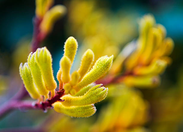 kangaroo paw flower - blurred background - kangaroo paw stock photos and pictures
