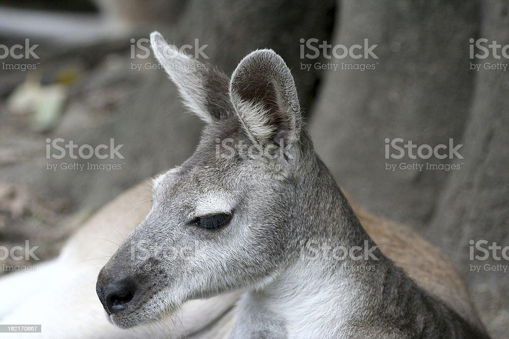 kangaroo - Royalty-free Animal Stock Photo