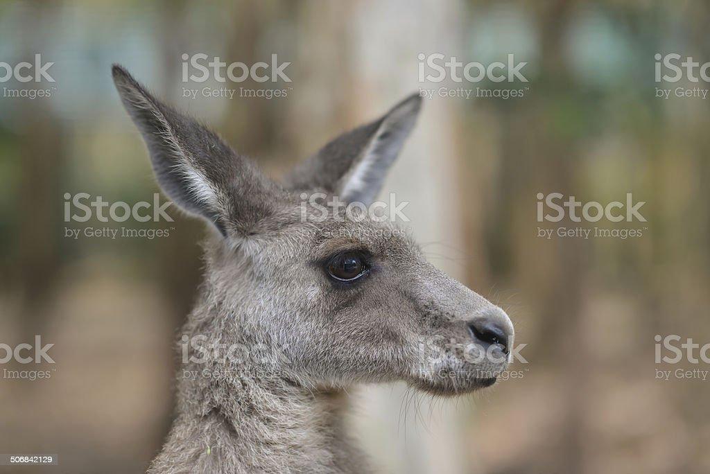 Kangaroo – Foto
