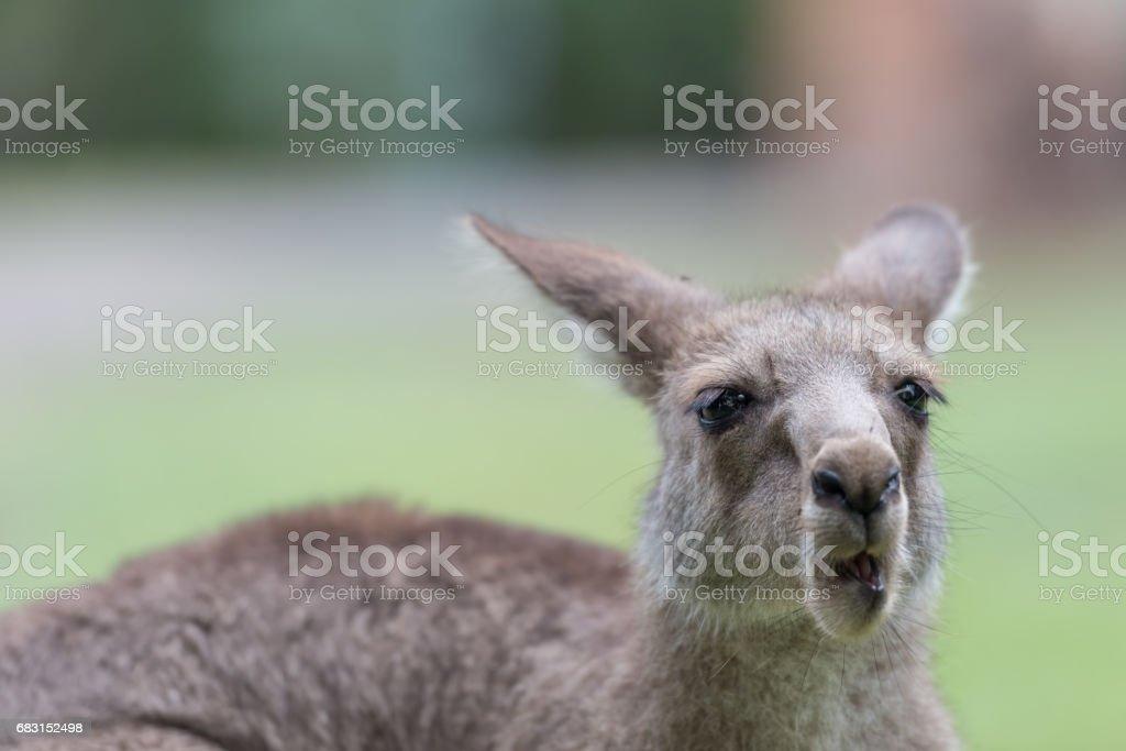 Kangaroo royalty-free 스톡 사진