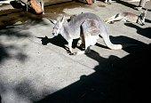 1970 Kangaroo