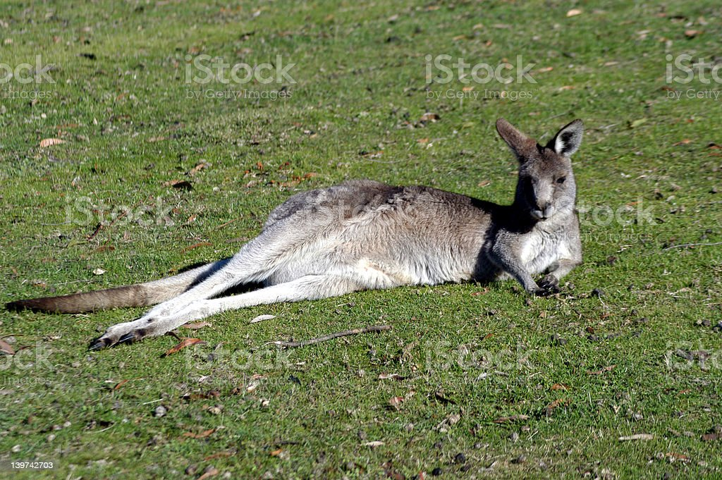 Kangaroo Resting royalty-free stock photo