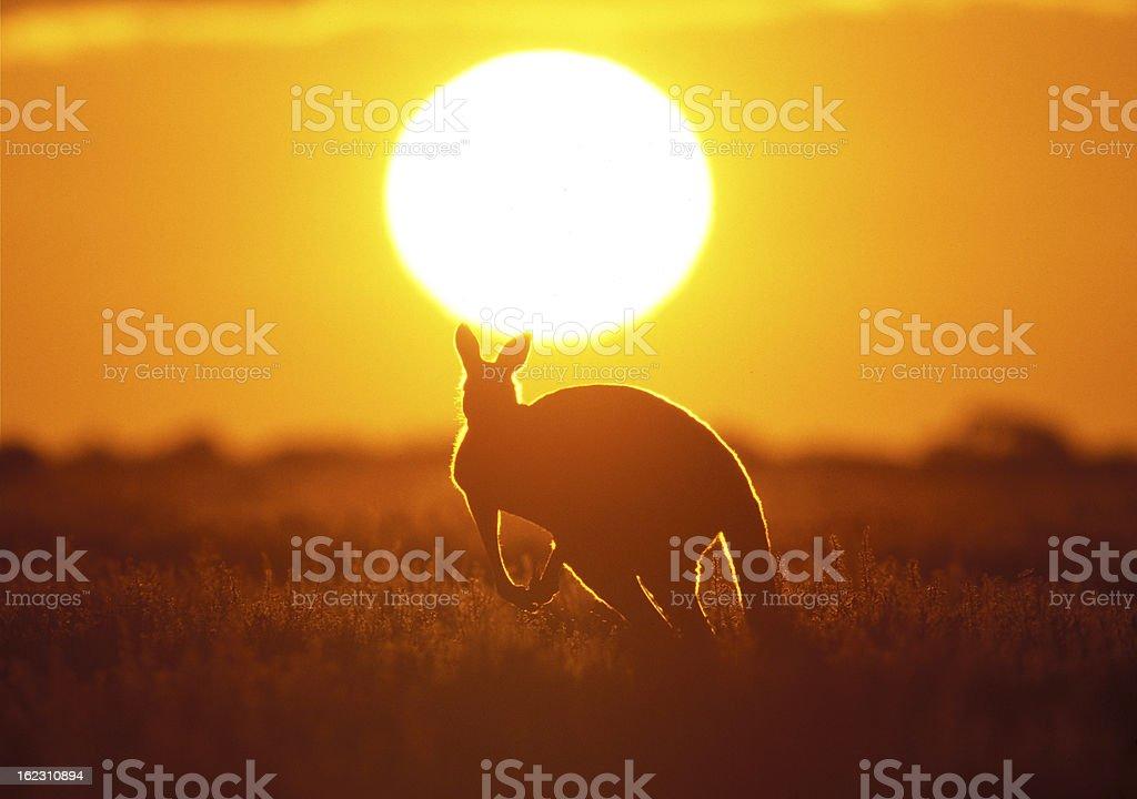 A kangaroo running towards the sunset stock photo