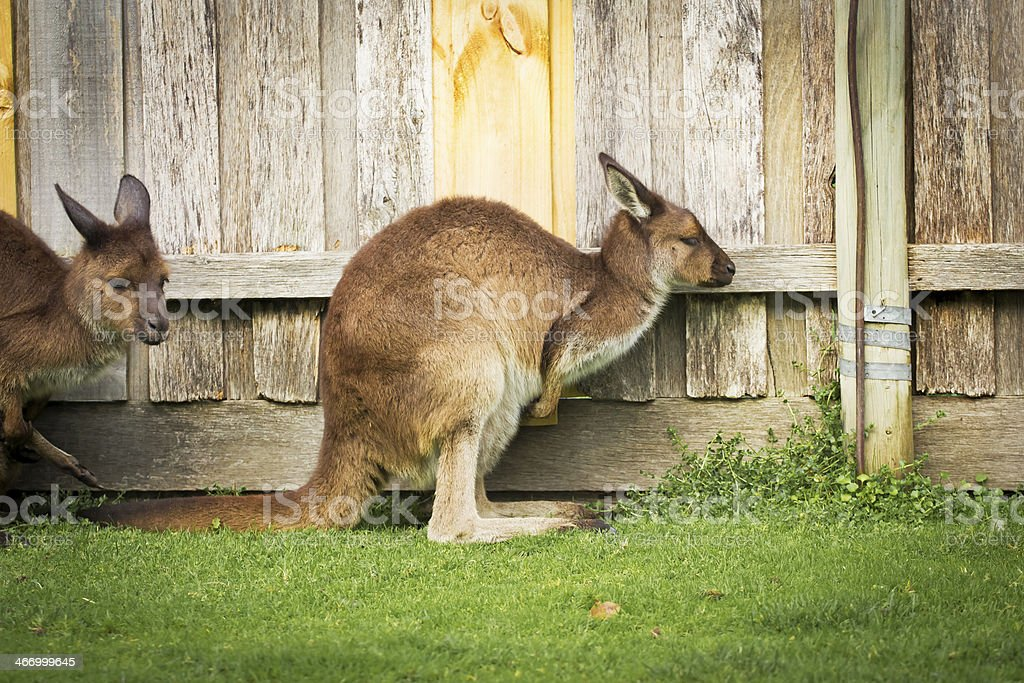 Kangaroo side royalty-free stock photo