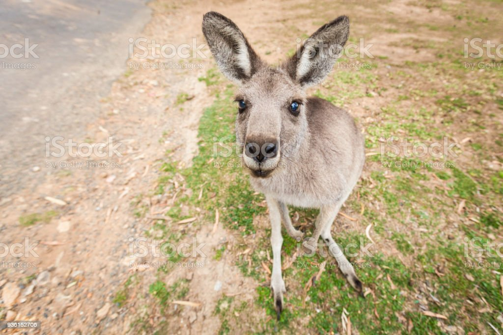 Kangaroo sitting and waiting patiently for food stock photo
