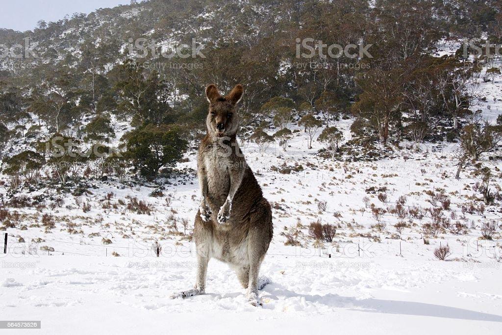 Kangaroo standing in the snow stock photo