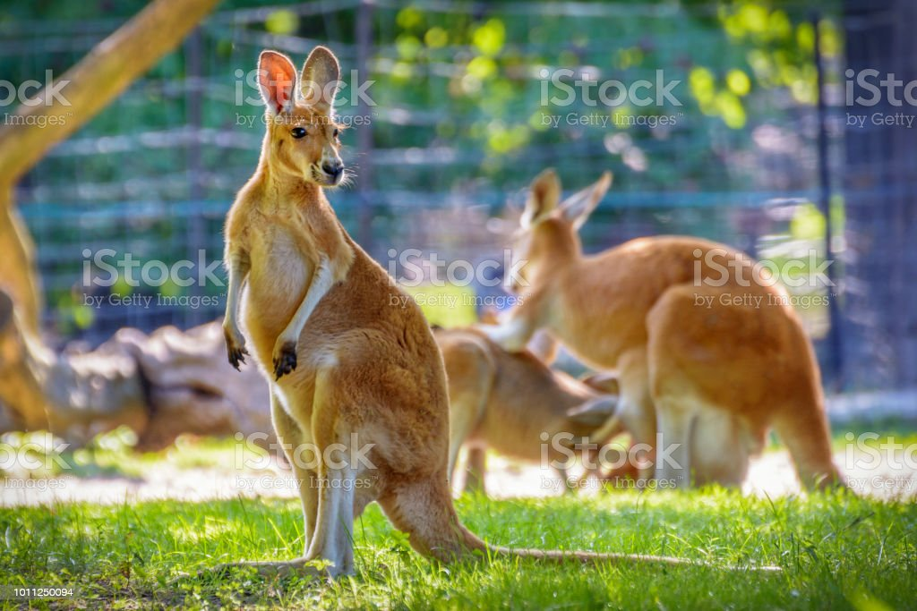 Kangaroo Standing in the wild life stock photo