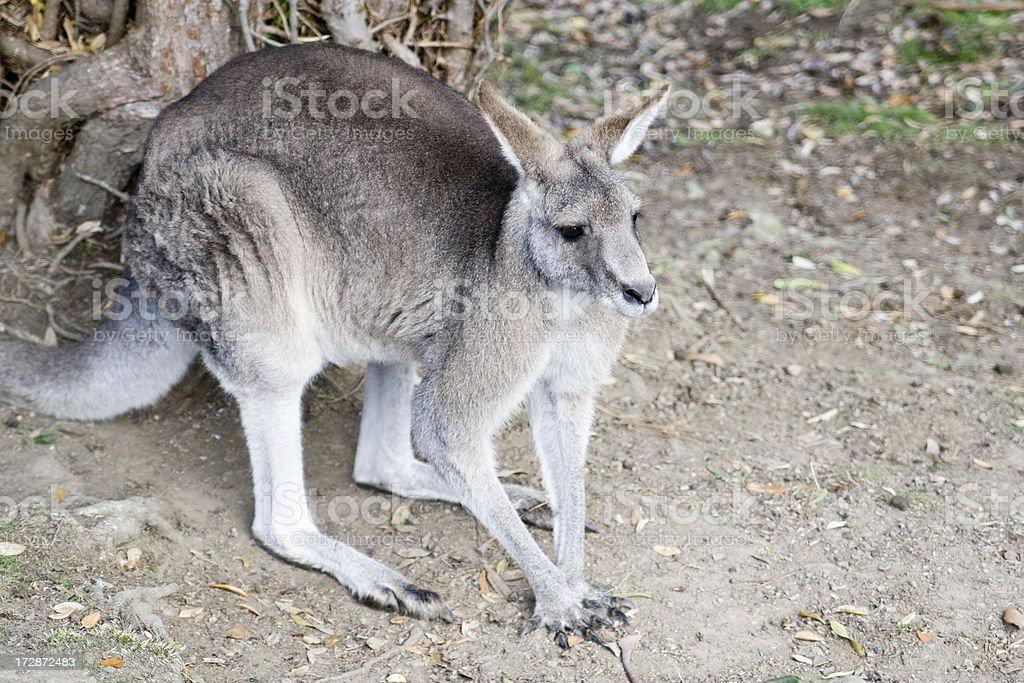 Kangaroo stands ready royalty-free stock photo