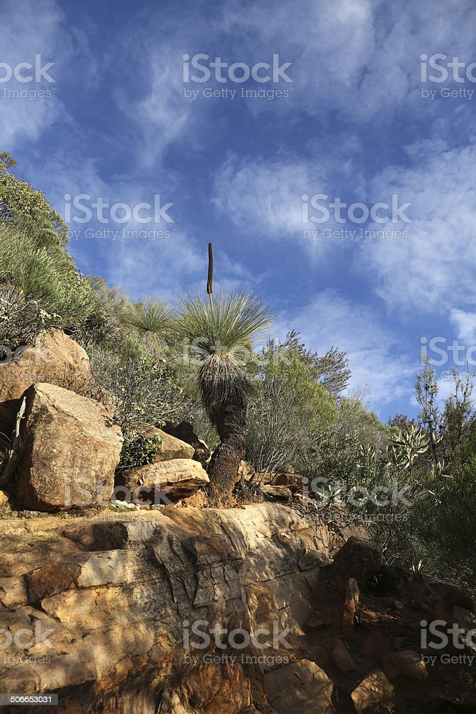 Kangaroo Tail - Grass Tree stock photo