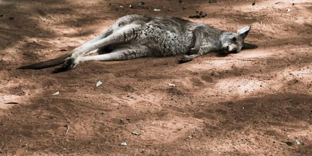 Kangaroo talking a nap stock photo