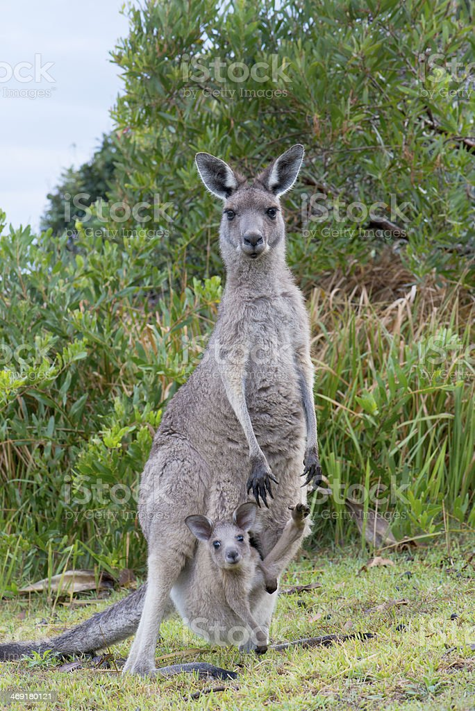 Kangaroo With a Baby Joey in Pouch stock photo