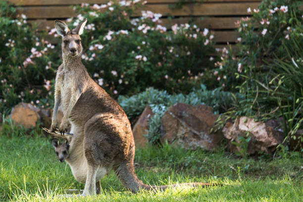 kangaroo with baby in pouch - stephen lynn stock pictures, royalty-free photos & images