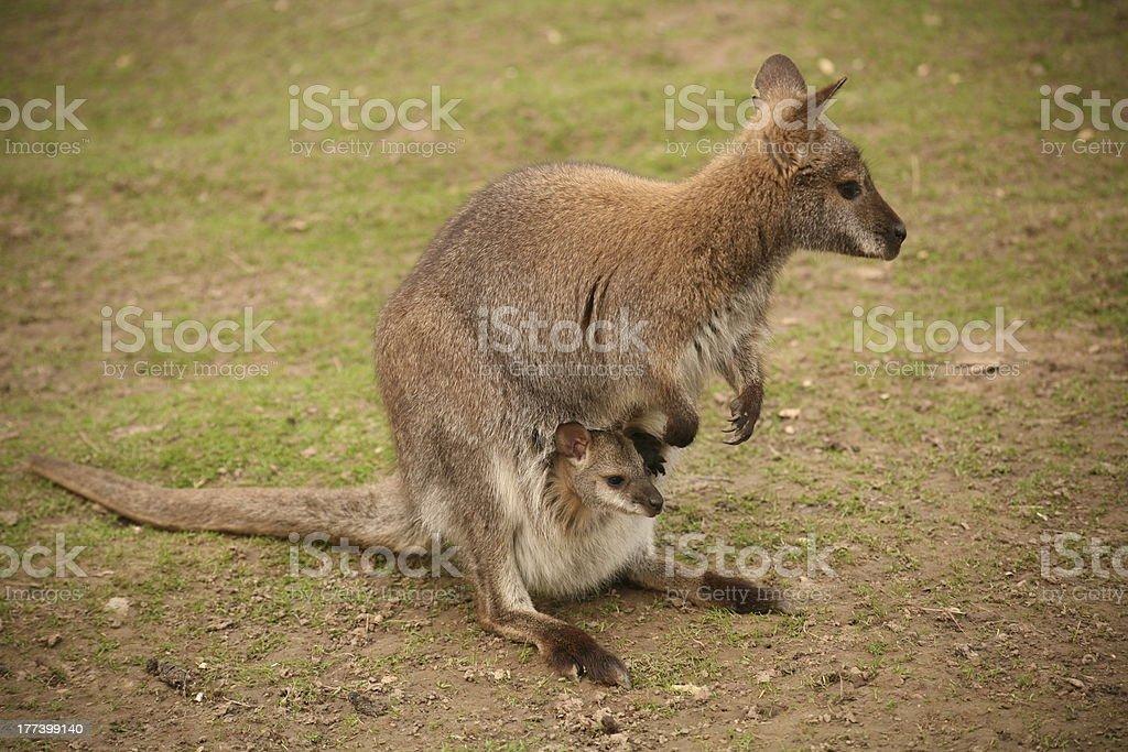 Kangaroo with baby royalty-free stock photo
