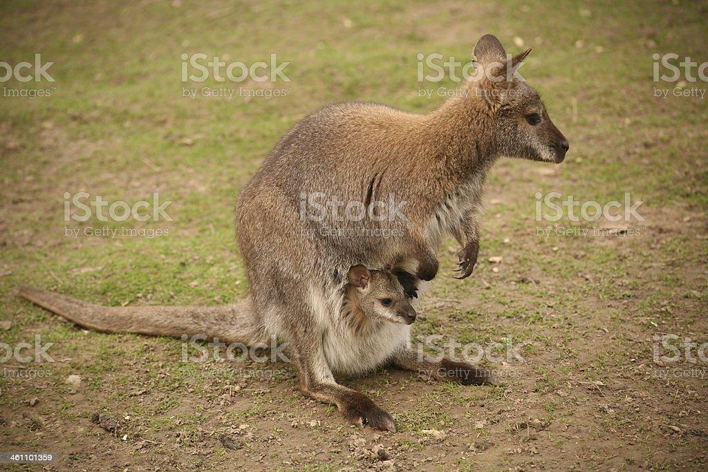 Kangaroo with cub stock photo