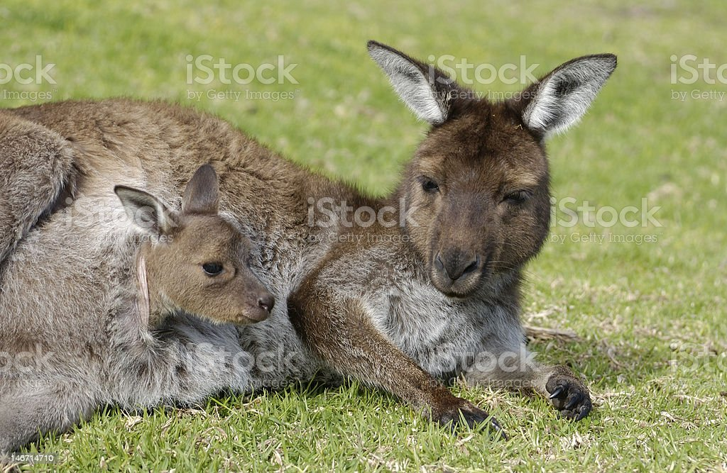 kangaroo with joey in pouch royalty-free stock photo