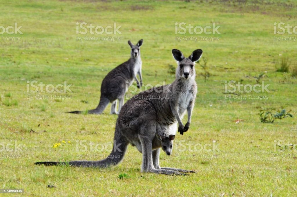 Kangaroo with joey in pouch stock photo