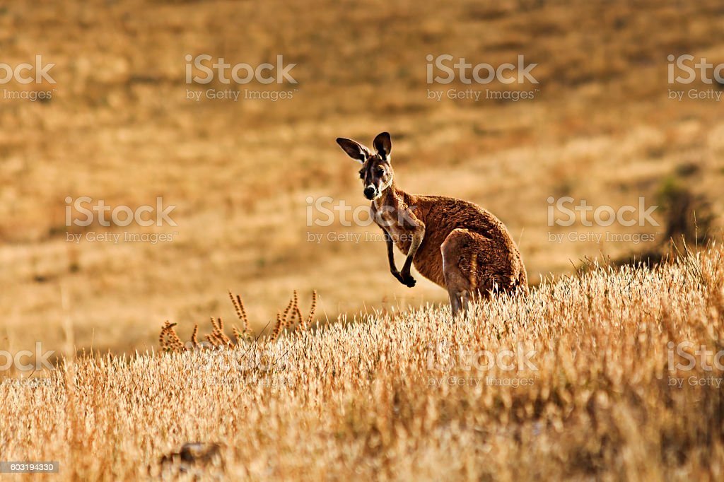 FR Kangaroo Yellow Dri Grass - foto de stock
