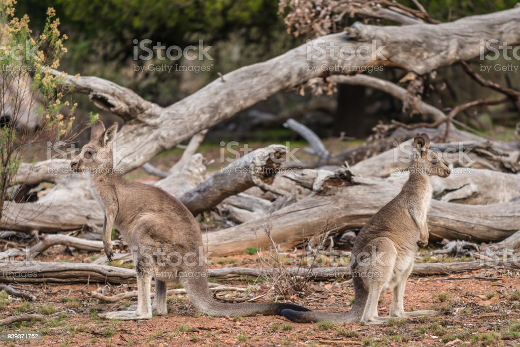 Kangaroos, Adult and Joey grazing in the Australian outback stock photo