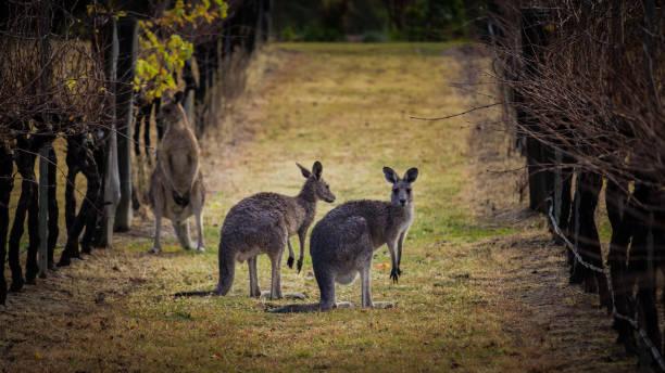 Kangaroos amongst the grape vines. stock photo