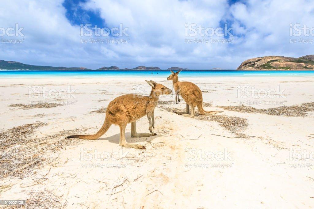 kangaroos at Lucky Bay royalty-free stock photo