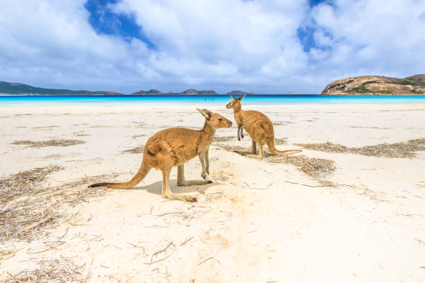 kangaroos at Lucky Bay stock photo