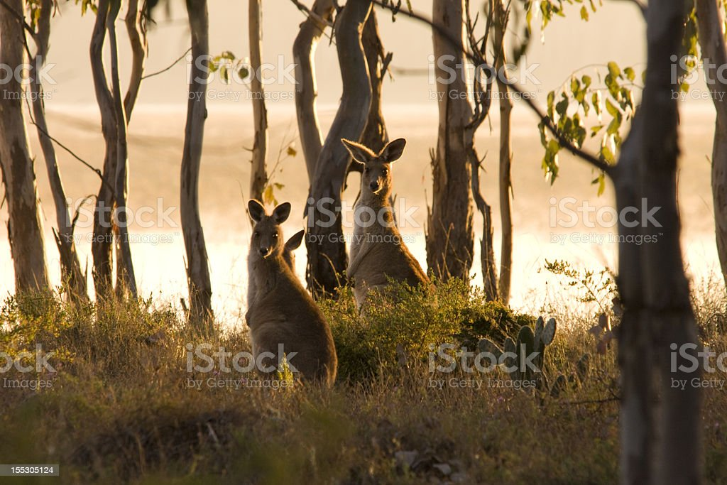 Kangaroos by a lakeshore stock photo