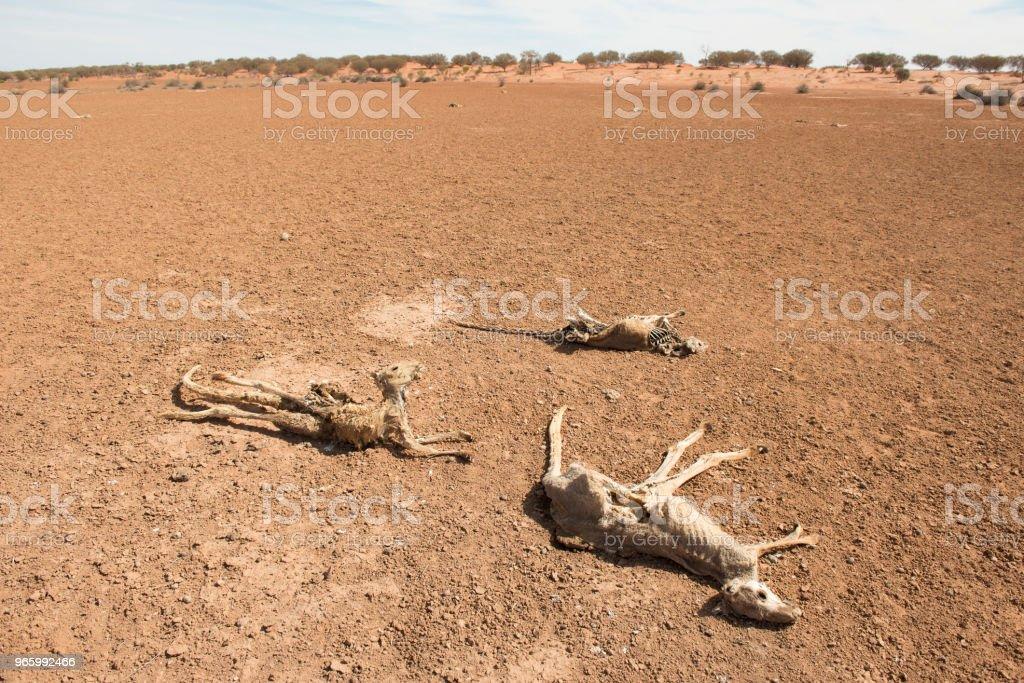 kangoeroes tijdens droogte voorwaarden - Royalty-free Australië Stockfoto