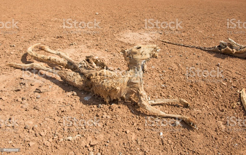 kangaroos during  drought conditions stock photo