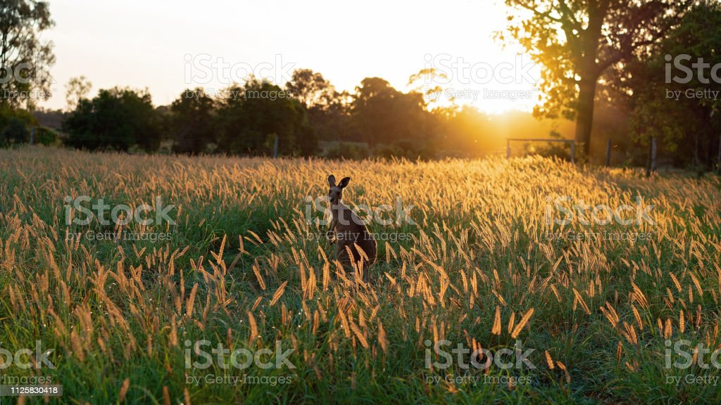 Kangaroos In A Field At Sunset - Royalty-free Agricultural Field Stock Photo