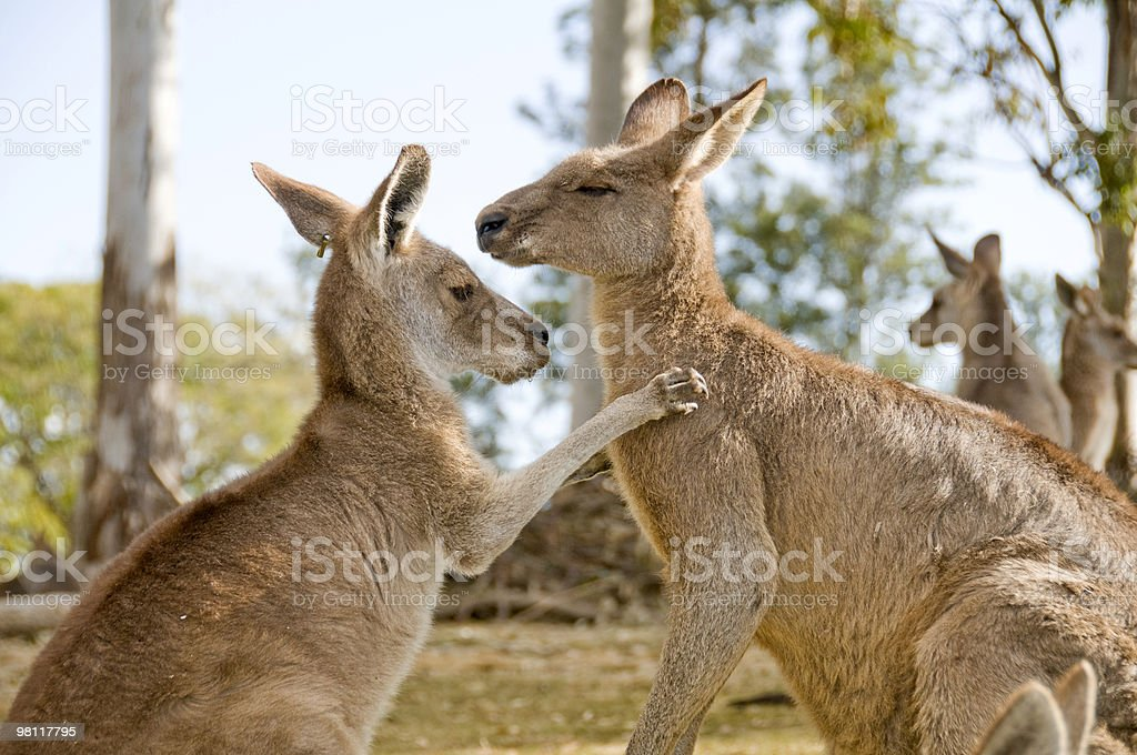 Kangaroos in an animal farm. royalty-free stock photo