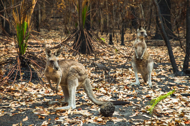 Kangaroos in burnt forest after bushfires stock photo