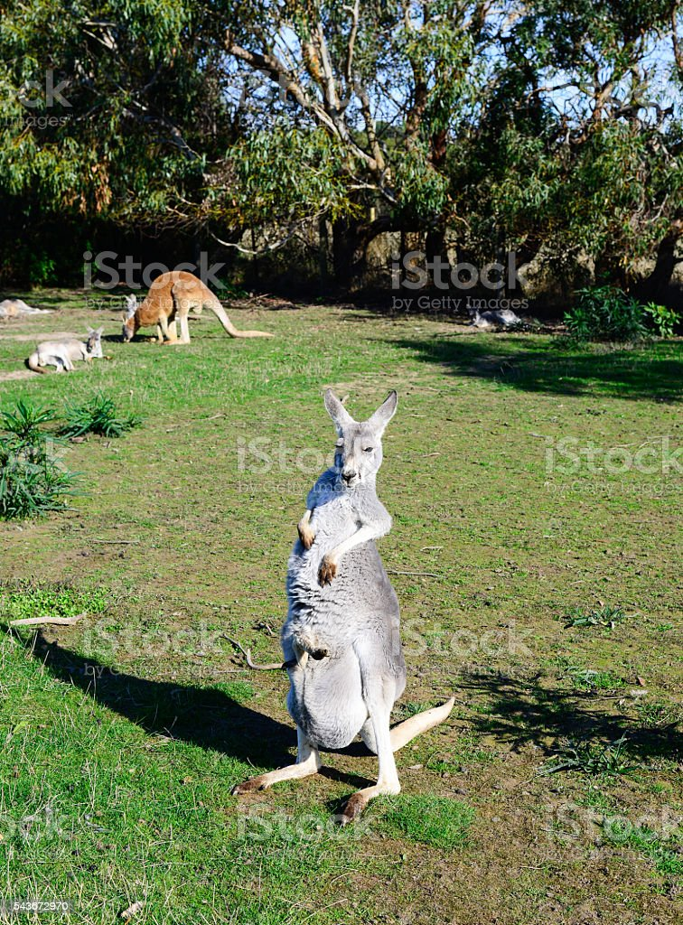 Kangaroos in Philip Island wildlife park, Australia. stock photo