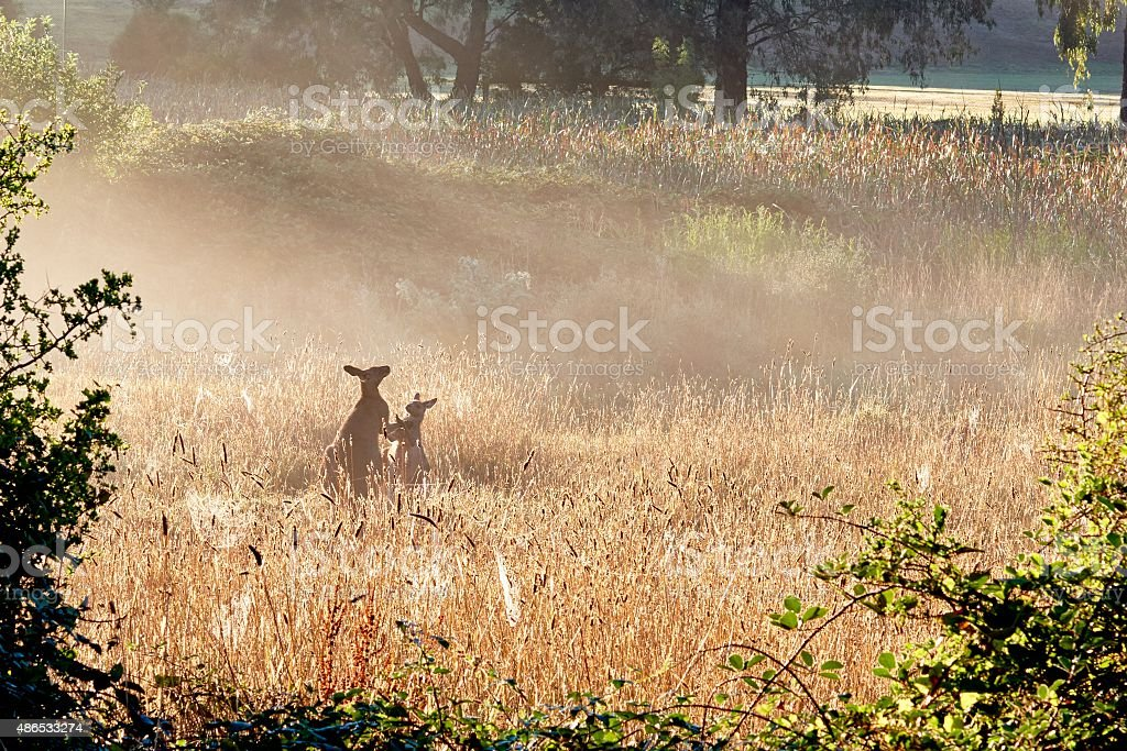 Kangaroos in the foggy morning stock photo