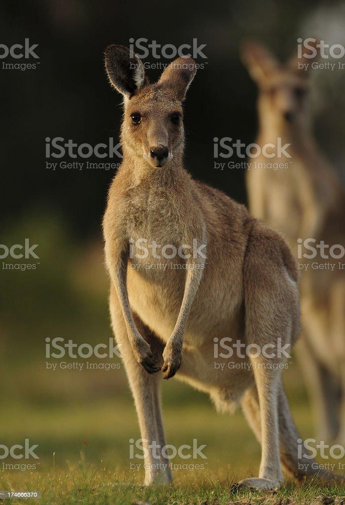 Kangaroos in Toorbul royalty-free stock photo