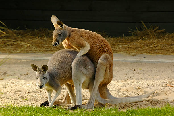 Kangaroos mating stock photo