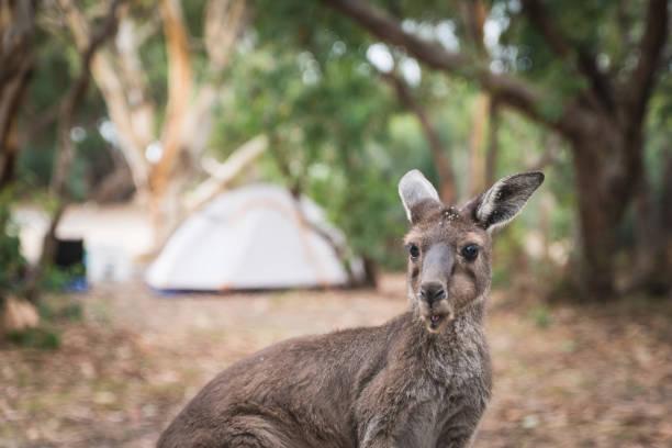 Kangaroos, native Australian Wildlife animals stock photo