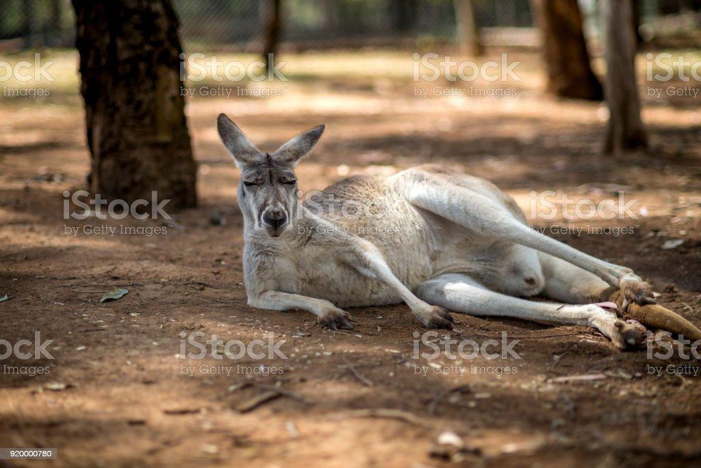 Kängurus auf dem Bauernhof – Foto