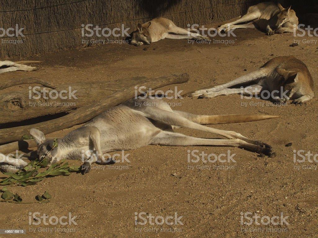 Kangaroos resting stock photo