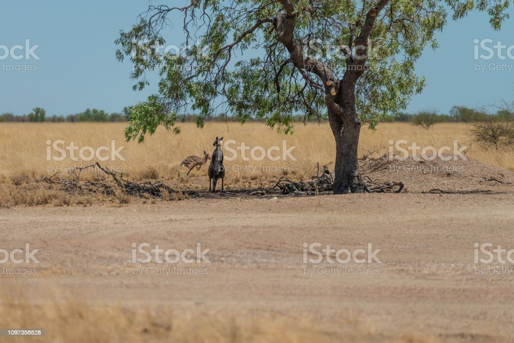 Kangaroos under tree in outback Queensland stock photo