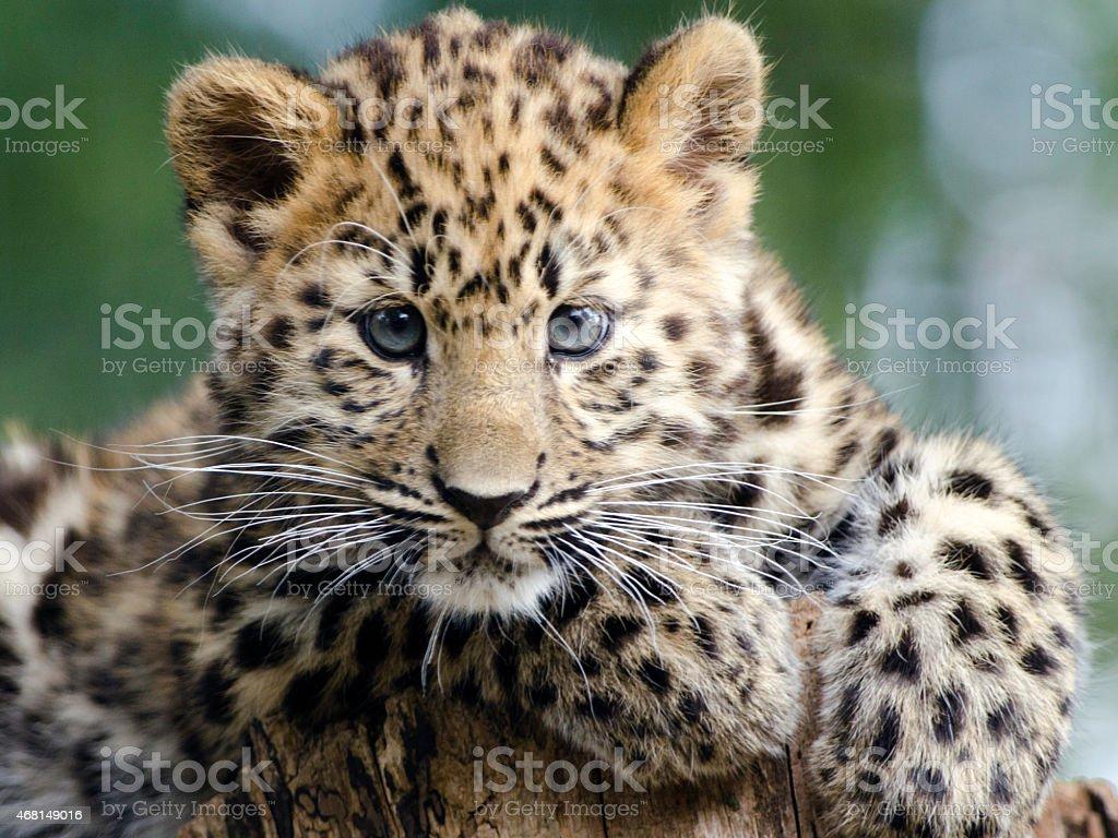 Kanika-Amur Leopard Cub – Foto