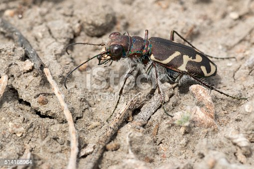 A tiger beetle hunts for other insects on the sandy plains of the drought plagued Cimarron National Grasslands in Kansas.