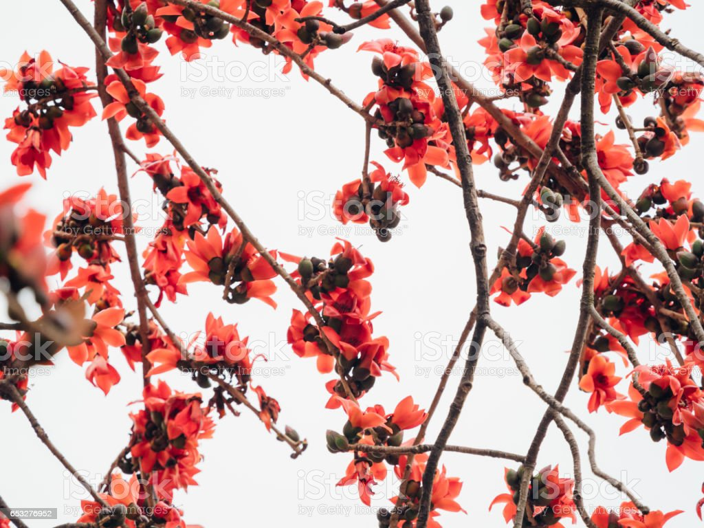 Kapok Common Bombax Ceiba Flower Stock Photo - Download