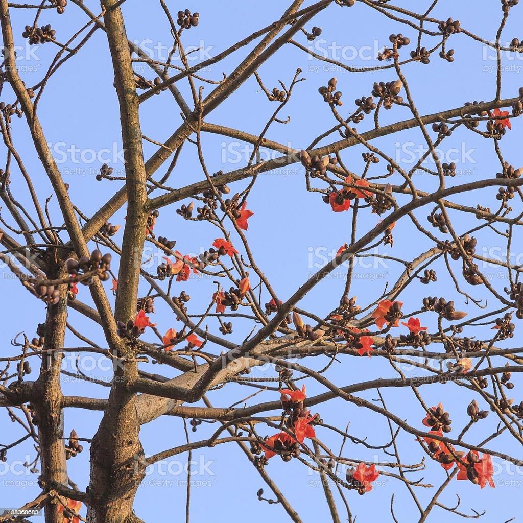 kapok flowers on tree at blue sky stock photo