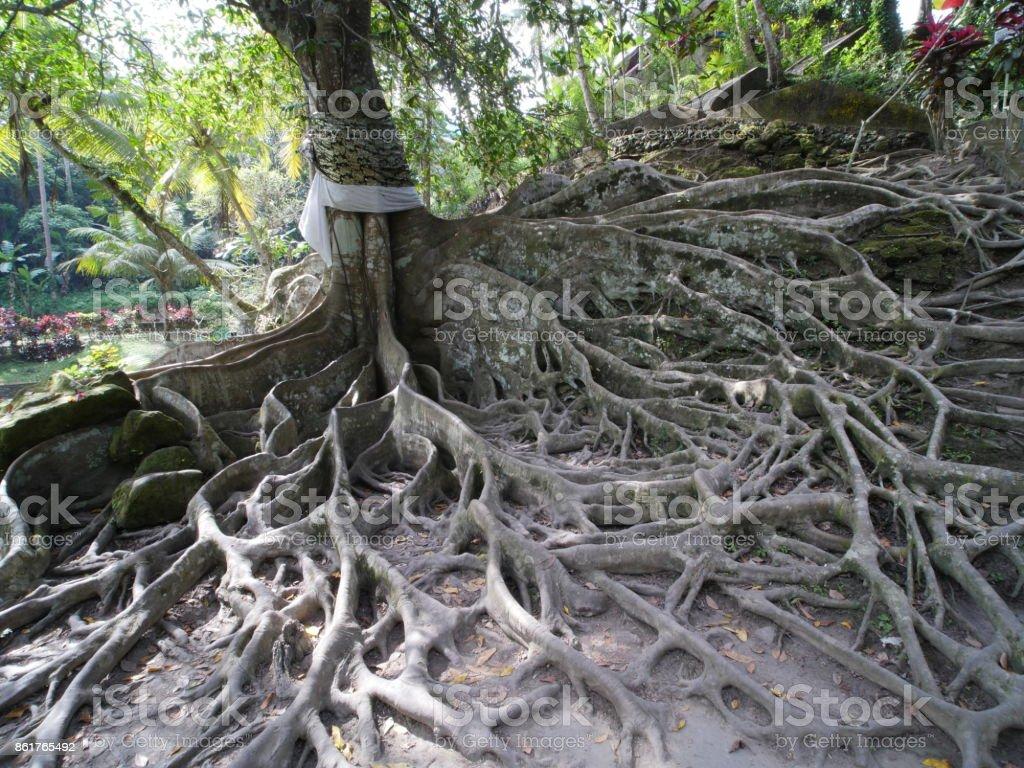 Kapok or Ceiba near Buddhist temple at Goa Gajah, Bali stock photo