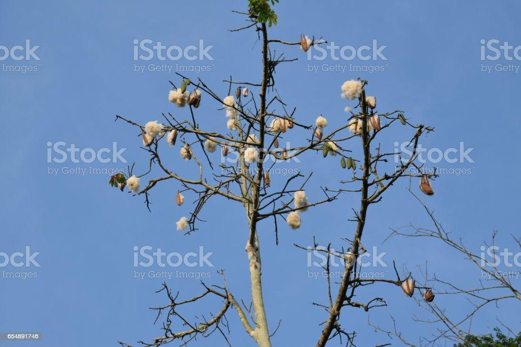 Kapok or White silk cotton tree stock photo