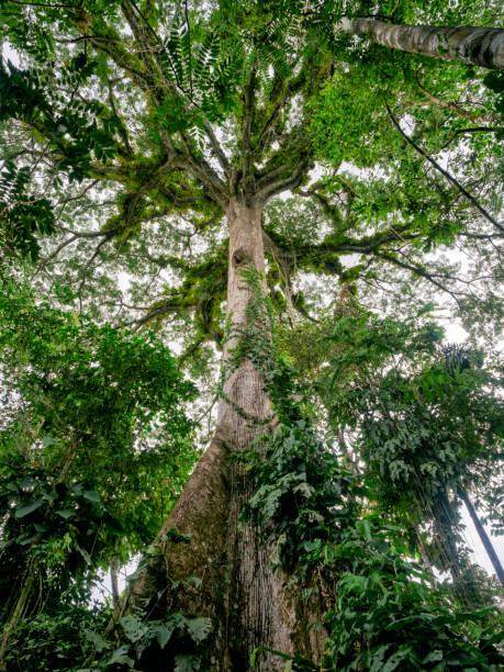 Kapok-Baum im Amazonas-Regenwald – Foto