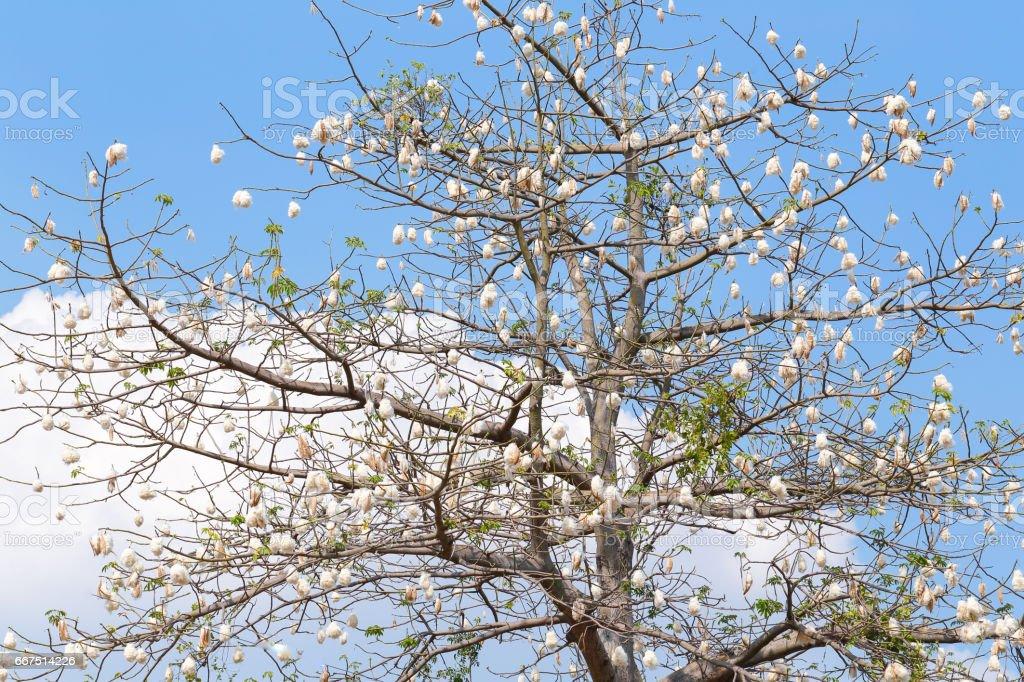 Kapok tree stock photo