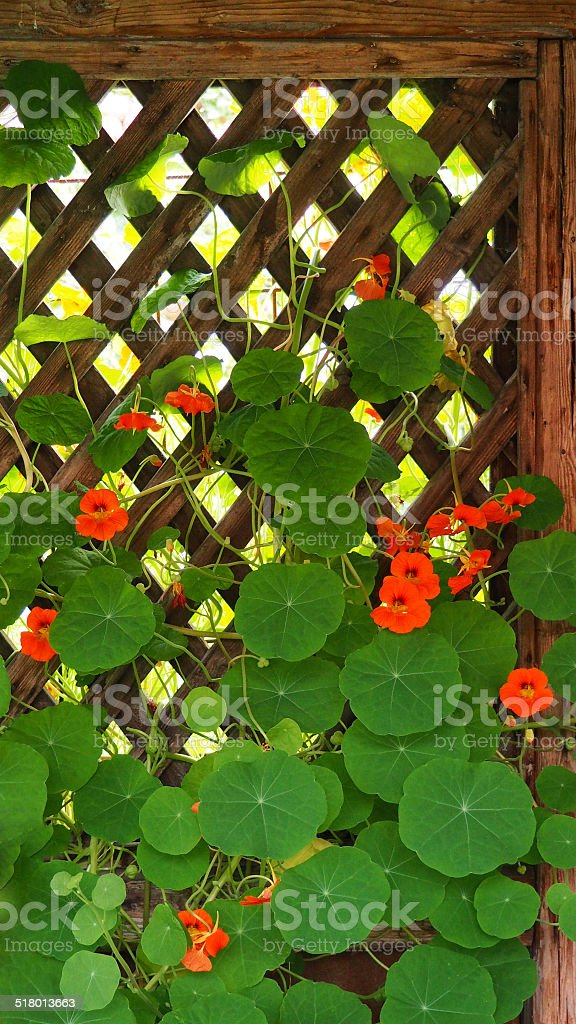 Kapuzinerkresse stock photo
